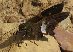 Epargyreus (Birdernaturalist) Tags: bolivia butterfly eudaminae hesperiidae lepidoptera richhoyer skipper