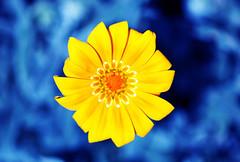 Gold ring (Pensive glance) Tags: flower fleur