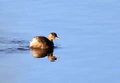 Little Grebe (5) (grahamh1651) Tags: marazion longrockpool birds waterbirds swans mountsbay grebes