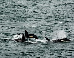Orcas! (Dr. Farnsworth) Tags: orcas killerwhales pod adults offspring feeding alaska ak juneau fall august2018