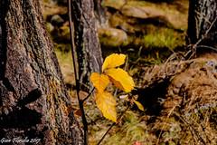 Autunno nel bosco (Gian Floridia) Tags: degioz fall valsavarenche autunno bosco foglie foliage giallo leaves wood yellow