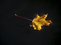 Autumn, floating (Markus Jansson) Tags: leaf autumn fall minimal minimalistic floating water haga hagaparken