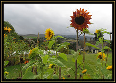 Cragside. Formal Gardens. Backs To The Rain. (M E For Bees (Was Margaret Edge The Bee Girl)) Tags: cragside rothbury northumberland sunflower flowers garden nationaltrust outdoors grey sky summer green canon countyside growing clouds