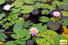Water lilies as a background (Fotoeckerl) Tags: wasser blume teich lilie lotos natur see green pflanze weis seerose garden blatt schönheit sommer blühen aufblühen schön pink lilly flora gelb