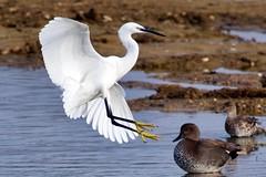 Little Egret (1 of 2) - Taken at Summer Leys, Nature Reserve,  Great Doddington, Northants. UK. (Ian J Hicks) Tags: