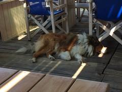 (Paradiso's) Tags: sleeping dog terras island sifnos kamares collie hund hond cafe warm shade
