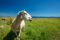Irland, Dingle Peninsula (FV1405) Tags: 2018 dinglepeninsula irland countykerry ie tier schaf wiese horizont himmel dingle weite grün gras