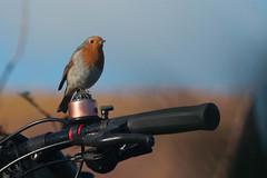 Bird on a Bell (jillyspoon) Tags: bird robin bell bicycle compass perch dof depthoffield