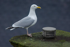 Urban Herring Gull (Tim Melling) Tags: larus argentatus argenteus british herring gull urban buildings timmelling
