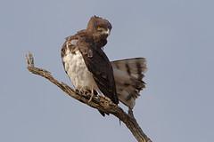 Black-chested snake eagle (Circaetus pectoralis) at Pilanesberg National Park, South Africa.