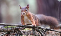 Red Squirrel at Formby (Taracy) Tags: red squirrel formby merseyside liverpool england