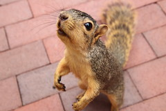 109/365/3761 (September 28, 2018) - Squirrels in Ann Arbor at the University of Michigan - September 28th, 2018 (cseeman) Tags: gobluesquirrels squirrels annarbor michigan animal campus universityofmichigan umsquirrels09282018 fall autumn eating peanut acorns septemberumsquirrel 2018project365coreys yearelevenproject365coreys project365 p365cs092018 356project2018 foxsquirrels easternfoxsquirrels michiganfoxsquirrels universityofmichiganfoxsquirrels