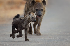 Mother's Little Helper (leendert3) Tags: leonmolenaar southafrica krugernationalpark wildlife nature mammals spottedhyena ngc naturethroughthelens npc