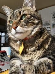 Tigger's Portrait in the Sun (sjrankin) Tags: 2october2018 edited animal cat kitahiroshima hokkaido japan livingroom closeup table tigger portrait