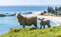 Sheep on Mount Maunganui (Kiwi-Steve) Tags: ewe sheep lamb mountmaunganui mountmaunganuibeach nature newzealand nz northisland tauranga bayofplenty landscape nikon nikond7200 beach