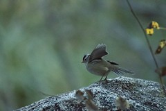 White-crowned sparrow -- Zonotrichia leucophrys (penaltykicker) Tags: birds californiabirds california sierranevada mountains wildlife migrants migratingbirds autumn zonotrichialeucophrys whitecrownedsparrow
