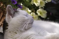 Moritz... (martinap.1) Tags: cat catportrait catmoments nikon nature nikond3300 natur nikon105mmmacro katze kitty kätzchen kitten kedi kat kot kissa katt kato white weis outside outdoor österreich