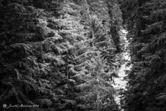 Silver River (jenelle.melchior) Tags: black white monochrome silver trees forest river water nature rainier washington wild