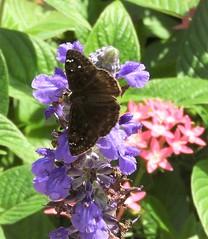 Horace's Duskywing on Kiawah Island (Ruby 2417) Tags: erynnis horatius horaces duskywing butterfly insect wildlife nature kiawah carolina carolinas island coast