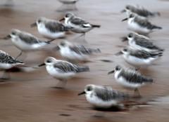 Sandpipers on the move (PeskyMesky) Tags: sandpiper movement bird nature springwatch 2018 scotland aberdeen aberdeenbeach canon canon6d