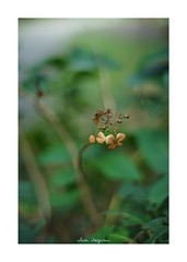 2018/9/14 - 8/15 photo by shin ikegami. - SONY ILCE‑7M2 / Lomography New Jupiter 3+ 1.5/50 L39/M (shin ikegami) Tags: 紫陽花 flower 花 macro マクロ 井の頭公園 吉祥寺 summer 夏 sony ilce7m2 sonyilce7m2 a7ii 50mm lomography lomoartlens newjupiter3 tokyo sonycamera photo photographer 単焦点 iso800 ndfilter light shadow 自然 nature 玉ボケ bokeh depthoffield naturephotography art photography japan earth asia