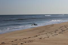 IMG_1977 (watchfuleyephoto) Tags: montauk beach ocean sand seal shells landscape vista view atlanticocean waves seagulls