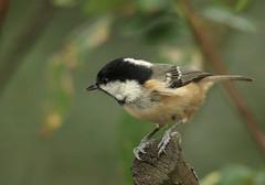 IMG_5988 (EOS 400D) Tags: coal tit bird woodland forest pose detail light colour bokeh