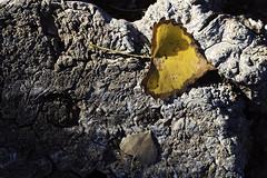 Cottonwood Leaf (karl_eschenbach) Tags: fallcolors autumn nature newmexico nm albuquerque southwest sw bia