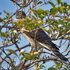 """Watching me Watching you"" (42jph) Tags: wildlife nature bird nikon d7200 sigma 150500 uk england blyth northumberland prey hawk sparrowhawk"