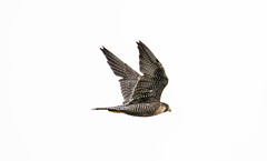 7K8A8326 (rpealit) Tags: scenery wildlife nature state line lookout peregrin falcon bird