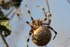 giant (Phil Arachno) Tags: germany spider spinne arachnida araneus chelicerata hessen niederems