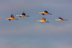 Sandhill Cranes at sunrise at Crex Meadows in Grantsburg, Wisconsin (Lorie Shaull) Tags: sandhillcrane gruscanadensis wisconsin bird birdwatching birds crexmeadows birdmigration migration fallmigration