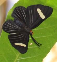 Pheles atricolor atricolor (Birdernaturalist) Tags: bolivia lepidoptera richhoyer riodinidae