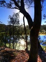 Forest and stream IV (elphweb) Tags: hdr highdynamicrange nsw australia forest bush tree trees wood woods spottedgum spottedgums spottedgumtrees waterway water stream creek weed algae