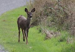 IMG_0576 Black-tailed Deer (Jon. D. Anderson) Tags: deer fawn blacktaileddeer odocoileushemionuscolumbianus odocoileushemionus odocoileuscolumbianus