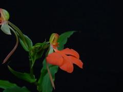 Habenaria rhodocheila 'Red' (Rusty Exotics Orchids) Tags: habenaria rhodocheila red complex terrestrial orchid flower species