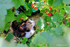 Envie ? (claude 22) Tags: nature color animal chat cat fruits
