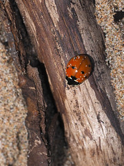 M2113804 E-M1ii 300mm iso400 f5.6 1_5000s (Mel Stephens) Tags: 20180811 201808 2018 q3 3x4 tall olympus mzuiko mft microfourthirds m43 300mm pro omd em1ii ii mirrorless uk scotland aberdeenshire st cyrus animal animals nature wildlife fauna insect ladybird beetle best gps