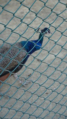 2018-09-19_11-03-17_ILCE-6500_DSC07875 (Miguel Discart Photos Vrac 3) Tags: 2018 99mm animal animalphotography animals animalsupclose animaux bird birds e18135mmf3556oss feathers focallength99mm focallengthin35mmformat99mm holiday hotel hotels ilce6500 iso500 kamelya kamelyacollection kamelyahotelselin nature naturephotography oiseau oiseaux pet sony sonyilce6500 sonyilce6500e18135mmf3556oss travel turkey turquie vacances voyage