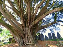 Churchyard Tree! ('cosmicgirl1960' NEW CANON CAMERA) Tags: anglesey ynysmon cymru wales gogledd north island menaistraits green yabbadabbadoo