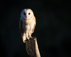 Barn Owl #2 (Dan Rooke) Tags: autumn barn dales england owl perched sunset uk yorkshire