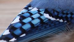 Blue Squares (blazer8696) Tags: 2018 brookfield ct connecticut ecw obtusehill t2018 tabledeck usa unitedstates blja blue bluejay corvidae cristata cyacri cyanocitta cyanocittacristata img1555 jay passeriformes