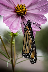 Monarch in the rain (Danaus plexippus)