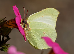 F36A0172_DxO_full (solkatt64) Tags: butterfly insect nature macro