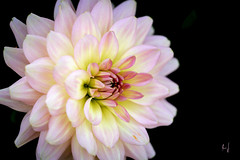 Neon (Armin Synek) Tags: flower bume dahlie dahlia neon color farbe macro