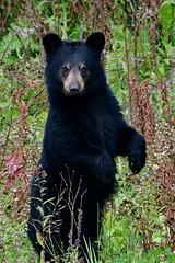 Standing to Attention (Spectacle Photography) Tags: blackbear bear ursusamericanus britishcolumbia canada canadianrockies wildlife wildlifewatching wildlifephotography animalsinthewild animalthemes animal bearstanding