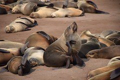 Cape Fur Seals (Arctocephalus pusillus), Cape Cross, Erongo Region, Namibia (West Tribe) Tags: capefurseal seal seals coast coastal coastline sea ocean atlantic southatlantic southernafrica afrique african africa desert october