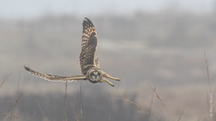 Short-eared Owl (Asio flammeus) (Tony Varela Photography) Tags: asioflammeus canon owl photographertonyvarela seow shortearedowl owlinflight