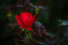 Pretty Red Rose (John Brighenti) Tags: rockville maryland twinbrook outside outdoors evening dusk goldenhour sunset fall autumn walk photowalk sony alpha a7rii ilce7rm2 minolta rokkorx 50mm f14 lens manuallens vintageglass vintage glass manual srmount mdmount adapted flower bokeh green petals rose red sonyshooter john brighenti johnbrighenti