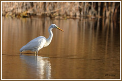 Aigrette 181101-01-P (paul.vetter) Tags: oiseau ornithologie ornithology faune animal bird échassier grandeaigrette aigrette ardeaalba greategret silberreiher casmerodiusalbus garçabrancagrande